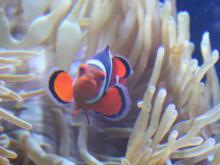 A clownfish in its anemone home at the NC Aquarium at Pine Knoll Shores (Photo: Tony Rice)