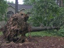 Uprooted tree in Cary