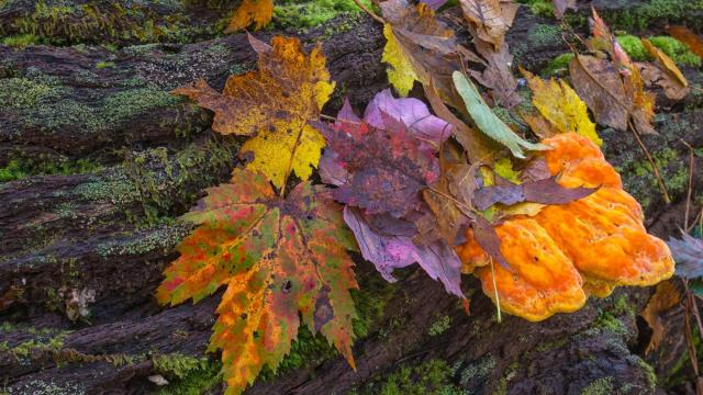 Tuesday, Oct. 21, 2014 -- Fallen leaves gather on a mushroom-ridden log near Grandfather Mountain. (Photo by Skip Sickler)