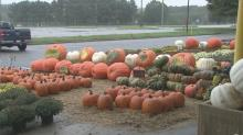 Pumpkin farmers having problems after recent storms
