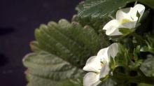 IMAGE: After worrisome winter, strawberry crop in bloom