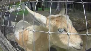 Owner worried 'alien goats' will take off for space during solar...