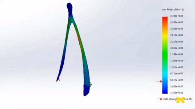 von Mises yeild or the maximum stress that can be put areas of a wishbone before fracture from 2014 analsyis by University of Michigan BioEngineers (Credit Schmedlen/Belmont/U Michigan)