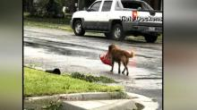 Dog carries own food to evacuate from flood zone