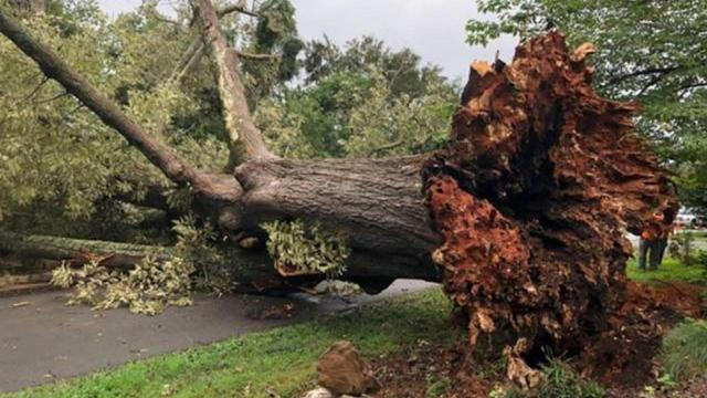 Tree in Hillsborough