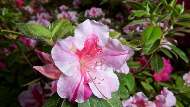 Flowers were blooming at the WRAL Azaela Gardens on Tuesday. (Stan Chambers Jr./WRAL)