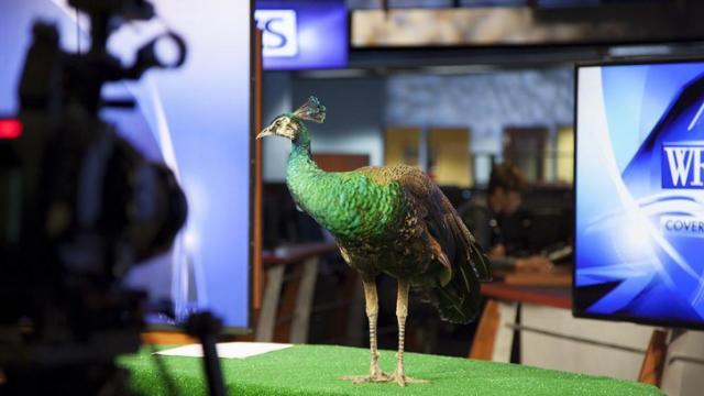WRAL-TV peacock