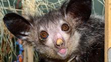 IMAGES: Avocados to blame for deaths of aye-ayes at Duke Lemur Center