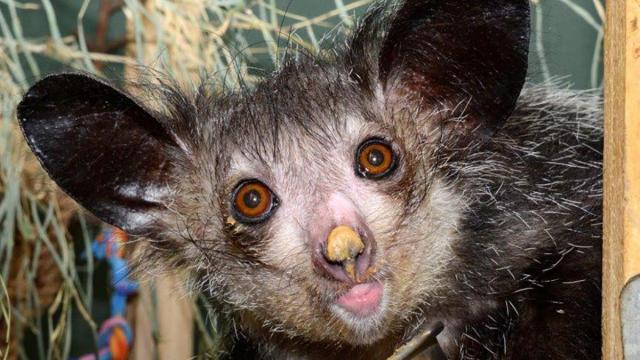 Four aye-aye lemurs died suddenly at the Duke Lemur Center.