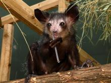 Four aye-aye lemurs died suddenly at the Duke Lemur Center.