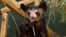 IMAGES: Four aye-aye lemurs die suddenly at Duke Lemur Center