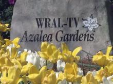 Azaleas begin to bloom in WRAL gardens