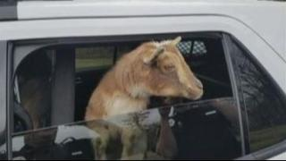 Have You Seen This Video? Goats in a police car