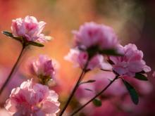 WRAL Azalea Garden in peak bloom